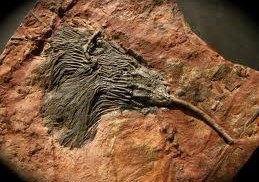 Komplett fossil sjölilja