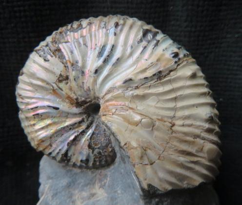 Ammonit med original pärlmor; Madagaskar