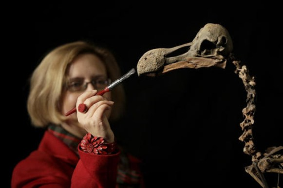 """A staff member holds a brush as she poses for photographs with a Dodo skeleton, Raphus cucullatus, from Mauritius at Summers Place Auctions in Billingshurst, southern England, Thursday, Nov. 17, 2016. The skeleton from the species extinct since the 17th century is the first to come up for sale in 100 years and is estimated to fetch upto 500,000 pounds ($624,445 or 581,546 euro) in the """"Evolution"""" sale on November 22. Credit: AP Photo/Matt Dunham"""