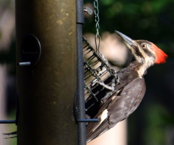 Pileated woodpeckers are a common sight on hikes through the Weymouth Woods Sandhills Naure Preserve. The woods are also home the endangered species of the red-cockaded woodpecker. This woodpecker (which I did see while I was there!) is an indicator species for the overall health of the longleaf pine ecosystem.
