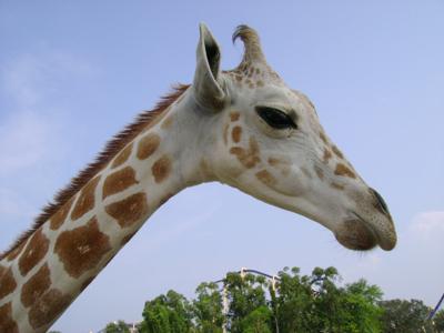 giraffe orig