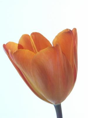 tulip orig