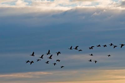 geese flying