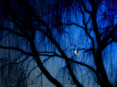 willows and moon