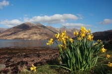 Daffodils by Loch Duich with The Fiver Sisters in the Background. April 2013