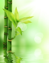 Chinese-Bamboo-Tree-Small