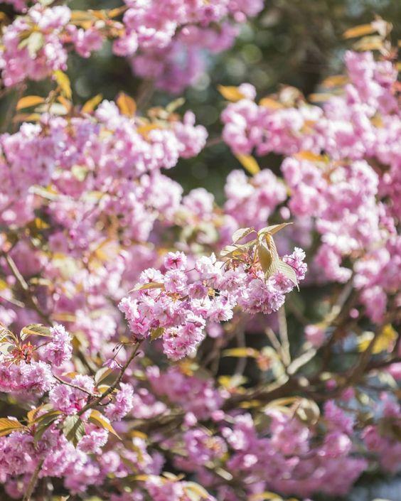 cherry blossom by Jamil Teja