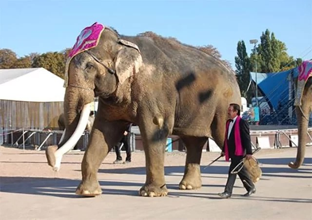 Offener Brief an PeTA - Foto: Elefantenbulle Colonel Joe im Circus Krone, Oktober 2010