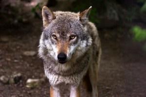 Dem Wolf geht es an den Kragen