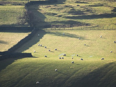 Sheep shadows