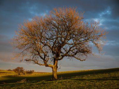 Last Light on Tree
