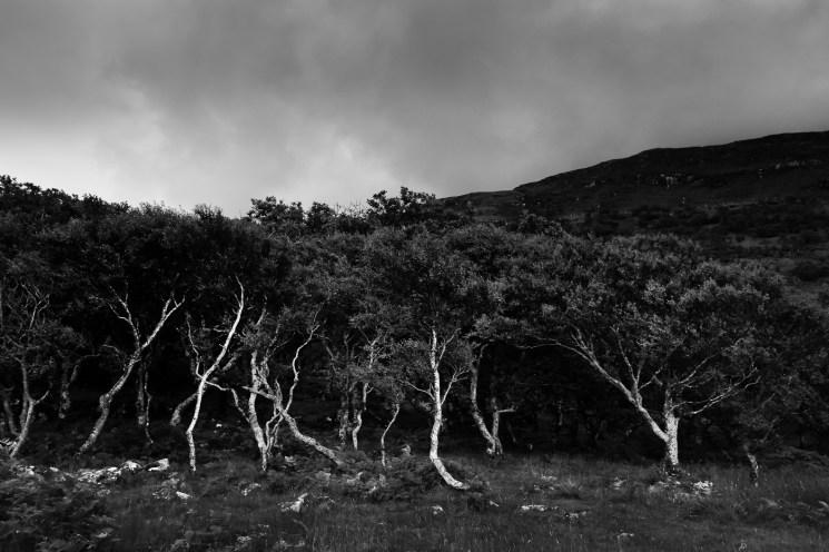 Birches on Isle of Mull