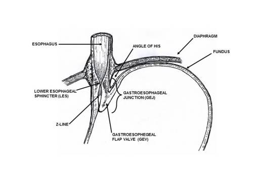 Distal esophageal and gastroesophageal anatomy