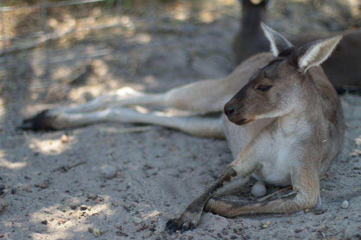 kangaroo02-1