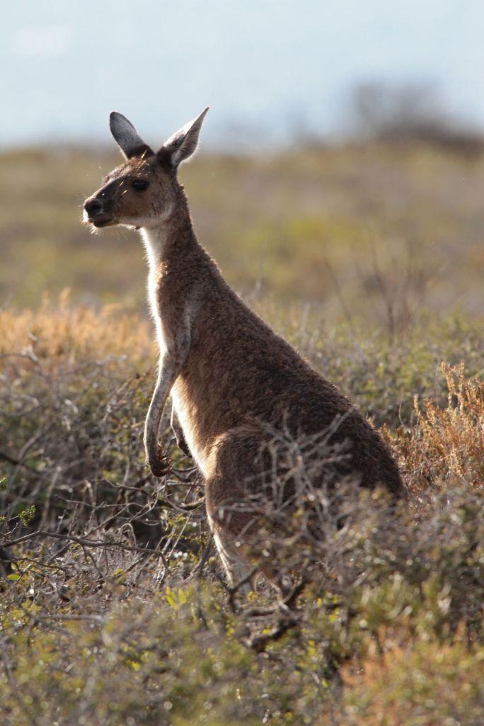 kangaroo04