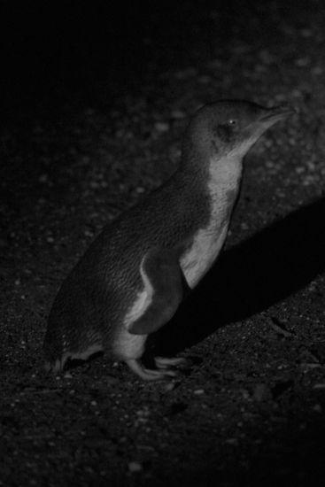 pinguin06