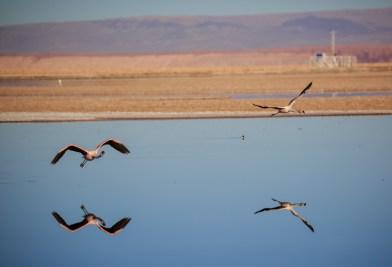 Flamingos an der Laguna Chaxa