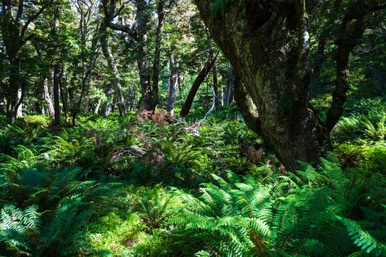 Regenwald auf dem Weg zu den Routeburn Flats