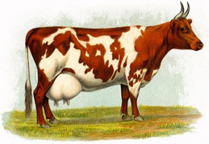 Ayshire Milch Cow, Author's Collection
