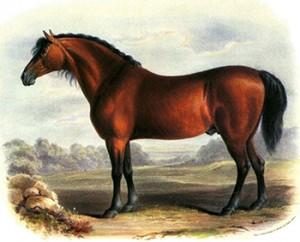 Cleveland Bay Stallion, 1840 by Shiels, Public Domain