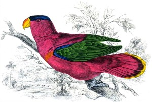 Rosille or Purple Parrot, Author's Collection
