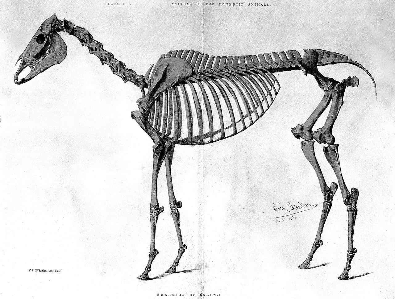 Eclipse the horse - his skeleton