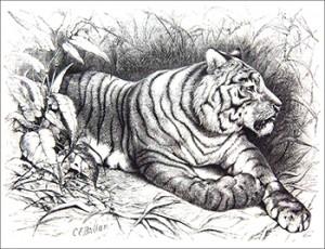 Begnal Tiger, Public Domain