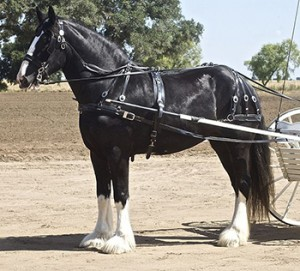 Shire Horse, Work Horses, Courtesy of Wikipedia