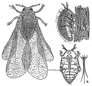 The Grape Phylloxera, Courtesy of Wikipedia