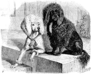 Moustache a French army poodle