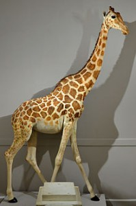 Le bel animal du roi, known today as Zarafa, Courtesy of Museum of Natural History of La Rochelle, France.
