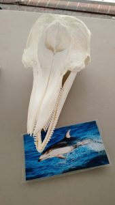 Scull of Dolphin