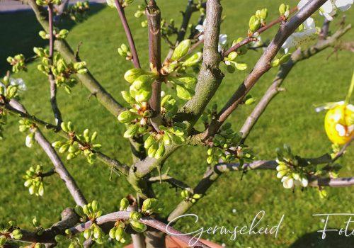 Pflaumenbaum am Morgen