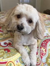Rusty, the best rescue dog ever. He's a Havanese and the happiest dog I know.