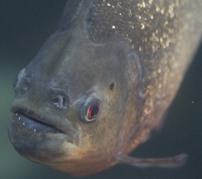 Red-bellied piranha at Shedd Aquarium