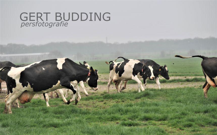Koeien van boer Schouten dartelend de wei in