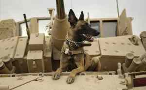 belgian-shepherd-malinois-military-working-dog