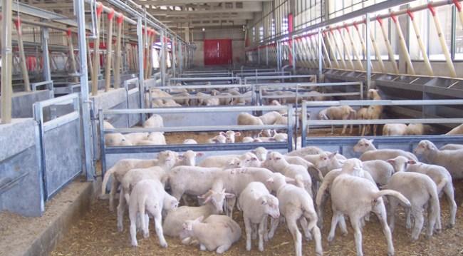 El 65% de la producción española de leche de oveja se concentra en Castilla y León