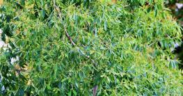 Teebaum für Teebaumöl