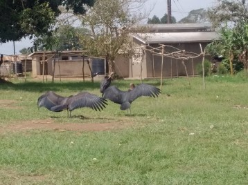 Cranes found only in Uganda
