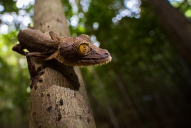 "The Leaf-tailed gecko is one of the most iconic species endemic to Madagascar. Also known as ""King of Camouflage"", it is almost impossible to find it when it is sleeping on its favourite branch. To get a different perspective I used a 15mm macro and shot from underneath the animal. - By Johan Siggesson, Malta. Nikon D810, Laowa 15mm f/4, ISO 1000, f/4, 1/80 sec."