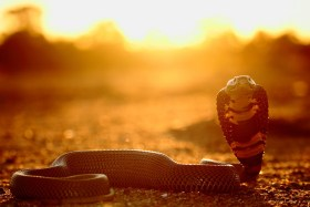 I photographed this Mozambique Spitting Cobra at sunset in a dry riverbed in Botswana. I thought I'd try something new with photographing snakes, by shooting into the sun and using the pop-up flash to light up the snake just enough to show some colour. - By Theo Busschau, Nelspruit Canon 70D, Canon 55-250mm f/4-5.6, ISO 100, f/4, 1/250 sec