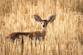 I spotted this steenbok in a field of harvested wheat near Marydale in the Northern Cape. - By Mias van der Walt Nikon D7200, Nikkor 200-500mm f/5.6, ISO 280, f/5.6, 1/1000 sec