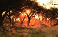 This photo was taken in Botswana in the late afternoon. My plan was to take a photo of the sun setting behind the beautiful, old camelthorn trees. While I was working on my composition, chaos broke loose when a pack of resident wild dogs began hunting a male impala. The impala ran right into my photo and yellow-billed hornbills scattered into the camelthorn trees. I dedicate this photo to my friend Merlinda Lotter, who has passed away - By Cathe Roets, Marble Hall Canon 7D Mark II, Canon 24-105 f/4 L, ISO 640, f/5, 1/800 sec