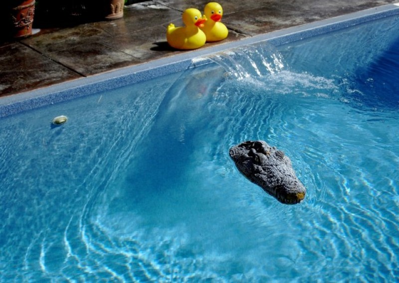 Twin rubber duckies and rubber alligator head float in sparkling pool. Crowne Pointe Inn pool, Provincetown MA