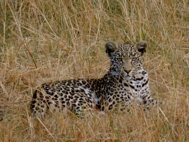 Leopard, Seba Camp