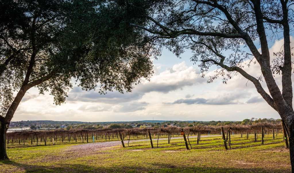 Vineyards at Lakeridge Winery in Clermont Florida.