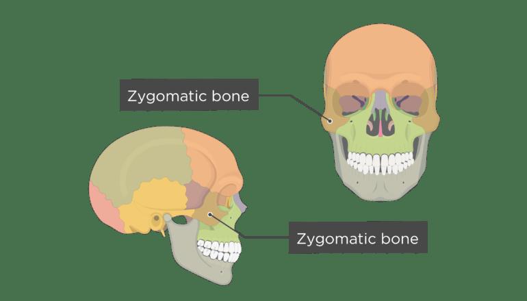 Zygomatic Arch Anatomy - Anatomy Drawing Diagram