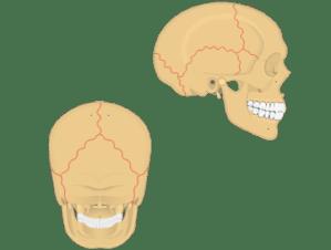 Cranial Bones of the Skull Anatomy • Cranium of the Skull