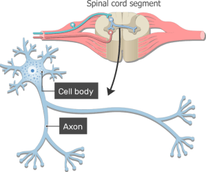 Neuron  Basic Structure and Functions